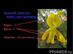 Каждый лепесток имеет свое название:Парус – 1Весла –2Лодочка – (2) сросшихся.
