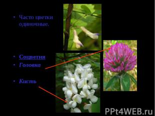 Часто цветки одиночные.(горох, акация)СоцветияГоловка(клевер)Кисть(люпин)