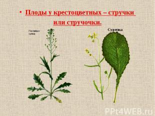 Плоды у крестоцветных – стручки или стручочки. Сурепка