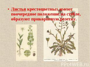 Листья крестоцветных имеют поочередное положение на стебле, образуют прикорневую