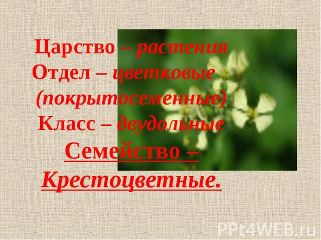 Царство – растения Отдел – цветковые (покрытосеменные) Класс – двудольные Семейство – Крестоцветные