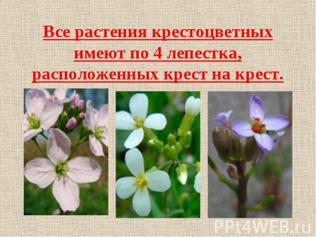 Все растения крестоцветных имеют по 4 лепестка, расположенных крест на крест.