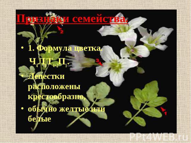 Признаки семейства.1. Формула цветка. Ч4Л4Т4+2П1. Лепестки расположены крестообразно,обычно желтые или белые