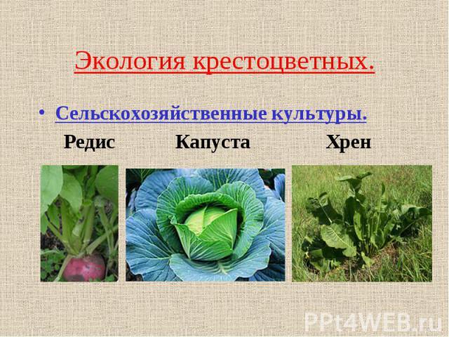Экология крестоцветных.Сельскохозяйственные культуры. Редис Капуста Хрен
