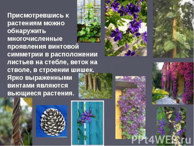 Присмотревшись к растениям можно обнаружить многочисленные проявления винтовой симметрии в расположении листьев на стебле, веток на стволе, в строении шишек. Ярко выраженными винтами являются вьющиеся растения.