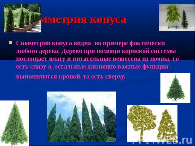 Симметрия конуса Симметрия конуса видна на примере фактически любого дерева. Дерево при помощи корневой системы поглощает влагу и питательные вещества из почвы, то есть снизу а, остальные жизненно важные функции выполняются кроной, то есть сверху.