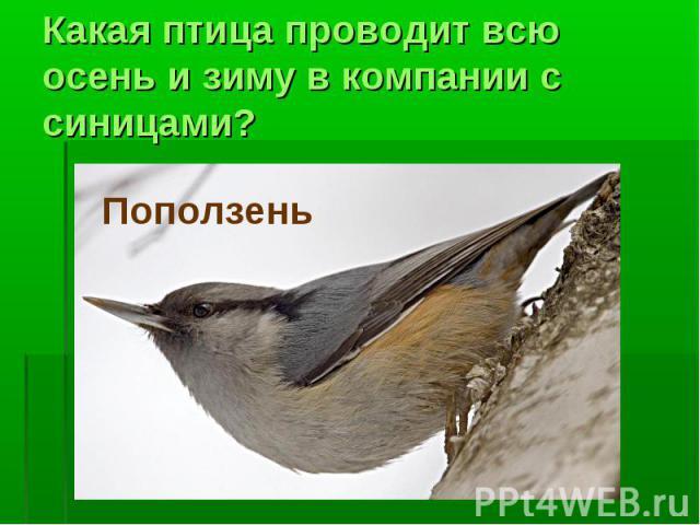 Какая птица проводит всю осень и зиму в компании с синицами?Поползень