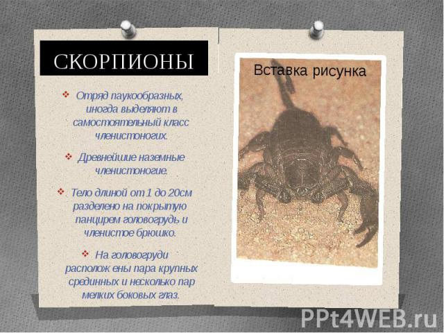 СКОРПИОНЫОтряд паукообразных, иногда выделяют в самостоятельный класс членистоногих.Древнейшие наземные членистоногие.Тело длиной от 1 до 20см разделено на покрытую панцирем головогрудь и членистое брюшко. На головогруди расположены пара крупных сре…