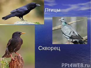 Скворец Птицы