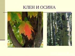 КЛЕН И ОСИНА
