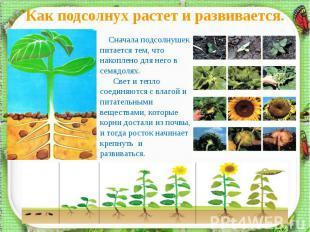 Как подсолнух растет и развивается. Сначала подсолнушек питается тем, что накопл