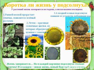 Коротка ли жизнь у подсолнуха?У растений жизнь измеряется не годами, а нескольки