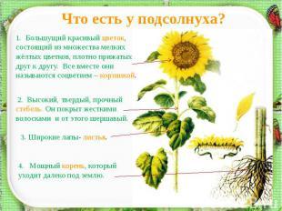 Что есть у подсолнуха?1. Большущий красивый цветок, состоящий из множества мелки