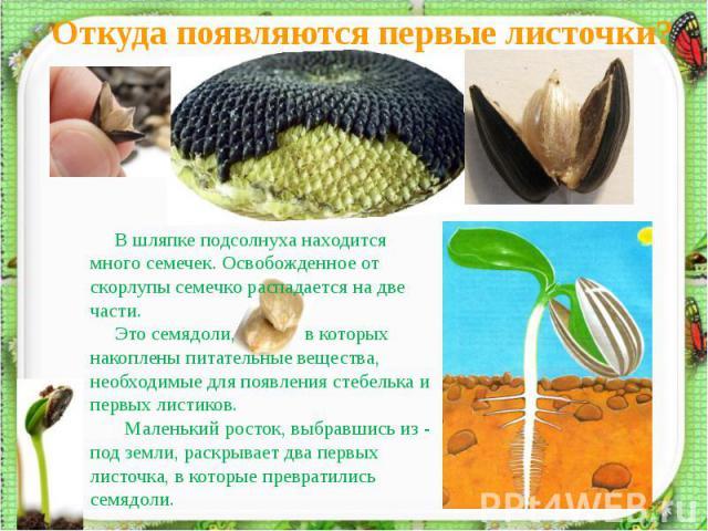 Откуда появляются первые листочки? В шляпке подсолнуха находится много семечек. Освобожденное от скорлупы семечко распадается на две части. Это семядоли, в которых накоплены питательные вещества, необходимые для появления стебелька и первых листиков…