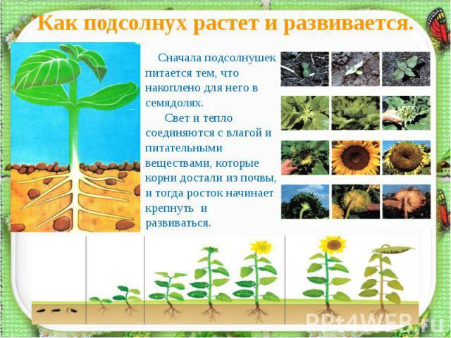 Как подсолнух растет и развивается. Сначала подсолнушек питается тем, что накоплено для него в семядолях. Свет и тепло соединяются с влагой и питательными веществами, которые корни достали из почвы, и тогда росток начинает крепнуть и развиваться.