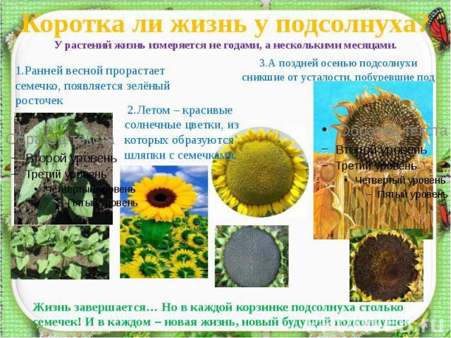 Коротка ли жизнь у подсолнуха?У растений жизнь измеряется не годами, а несколькими месяцами. 1.Ранней весной прорастает семечко, появляется зелёный росточек 2.Летом – красивые солнечные цветки, из которых образуются шляпки с семечками. 3.А поздней о…
