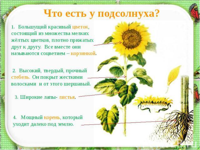 Что есть у подсолнуха?1. Большущий красивый цветок, состоящий из множества мелких жёлтых цветков, плотно прижатых друг к другу. Все вместе они называются соцветием – корзинкой. 2. Высокий, твердый, прочный стебель. Он покрыт жесткими волосками и от …