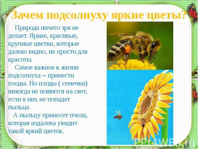 Зачем подсолнуху яркие цветы? Природа ничего зря не делает. Яркие, красивые, крупные цветки, которые далеко видно, не просто для красоты. Самое важное в жизни подсолнуха – принести плоды. Но плоды ( семечки) никогда не появятся на свет, если в них н…