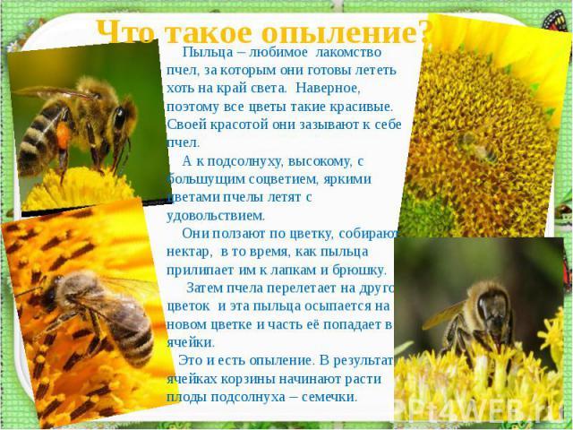Что такое опыление? Пыльца – любимое лакомство пчел, за которым они готовы лететь хоть на край света. Наверное, поэтому все цветы такие красивые. Своей красотой они зазывают к себе пчел. А к подсолнуху, высокому, с большущим соцветием, яркими цветам…