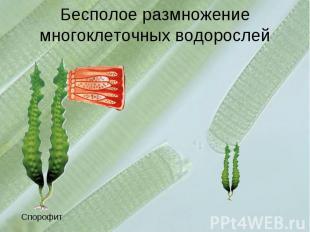 Бесполое размножение многоклеточных водорослей