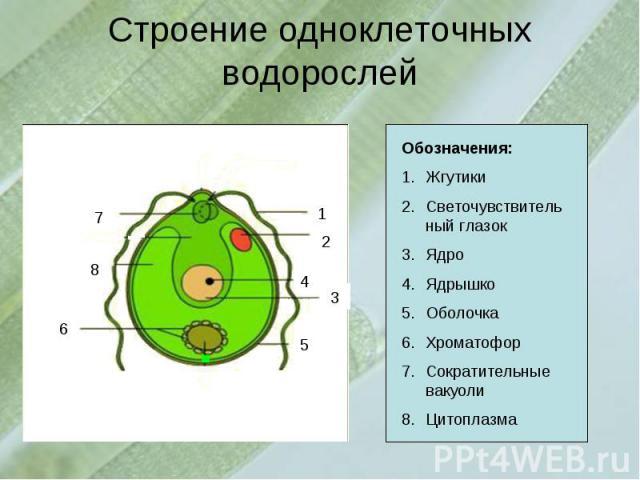 Строение одноклеточных водорослейОбозначения:Жгутики Светочувствительный глазокЯдро Ядрышко ОболочкаХроматофорСократительные вакуолиЦитоплазма