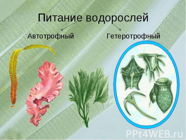 Питание водорослейАвтотрофныйГетеротрофный