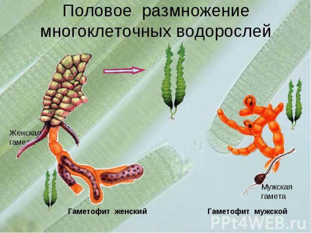 Половое размножение многоклеточных водорослей