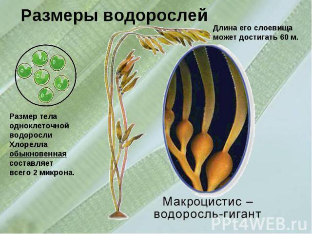 Размеры водорослейРазмер тела одноклеточной водорослиХлорелла обыкновенная составляет всего 2 микрона.Длина его слоевища может достигать 60 м.