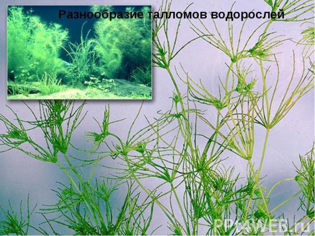 Разнообразие талломов водорослей