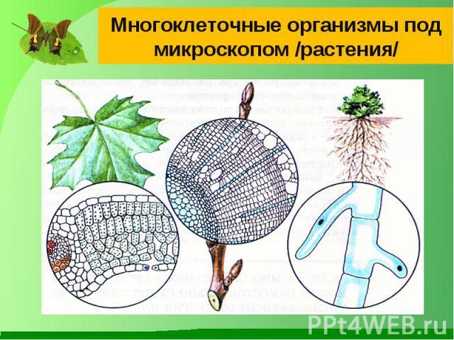 Многоклеточные организмы под микроскопом /растения/
