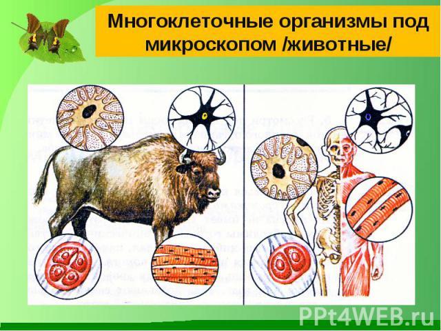 Многоклеточные организмы под микроскопом /животные/