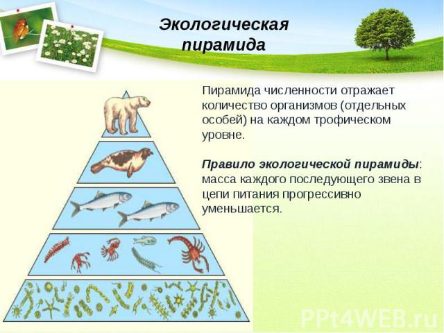 Экологическая пирамидаПирамида численности отражает количество организмов (отдельных особей) на каждом трофическом уровне.Правило экологической пирамиды: масса каждого последующего звена в цепи питания прогрессивно уменьшается.