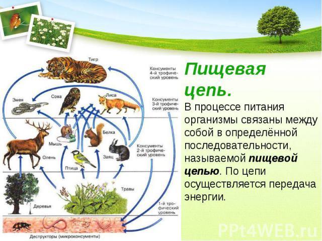 Пищевая цепь.В процессе питания организмы связаны между собой в определённой последовательности, называемой пищевой цепью. По цепи осуществляется передача энергии.