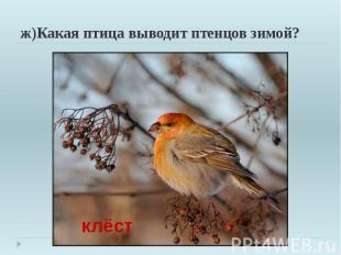 ж)Какая птица выводит птенцов зимой?