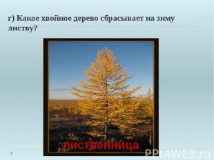 г) Какое хвойное дерево сбрасывает на зиму листву?