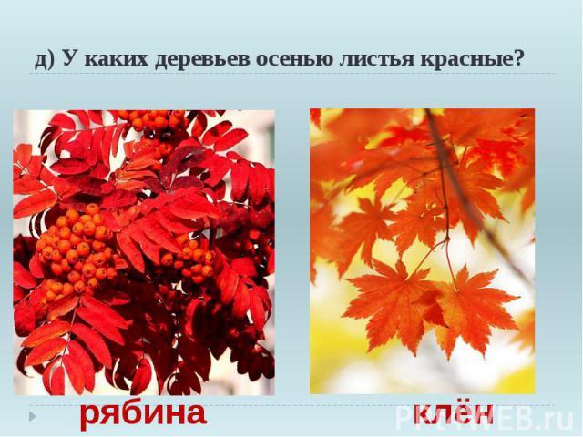д) У каких деревьев осенью листья красные?