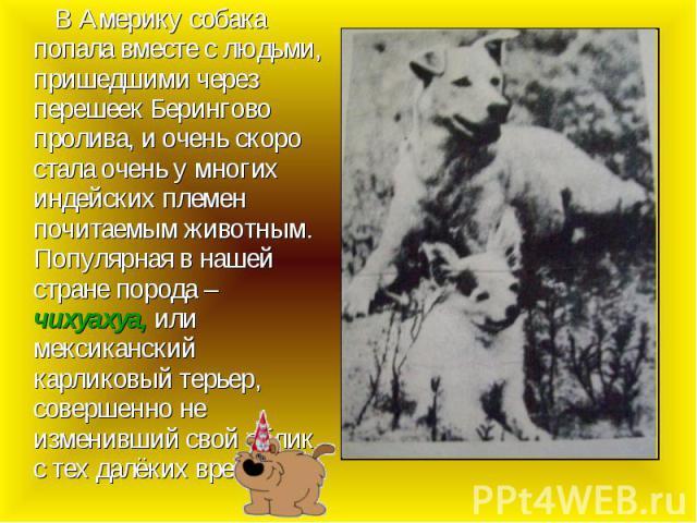 В Америку собака попала вместе с людьми, пришедшими через перешеек Берингово пролива, и очень скоро стала очень у многих индейских племен почитаемым животным. Популярная в нашей стране порода – чихуахуа, или мексиканский карликовый терьер, совершенн…