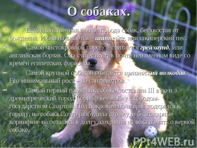 Есть единственная в мире порода собак, бесхвостая от рождения. И она называется – шипперке, или шкиперский пес. Есть единственная в мире порода собак, бесхвостая от рождения. И она называется – шипперке, или шкиперский пес. Самой чистокровной породо…