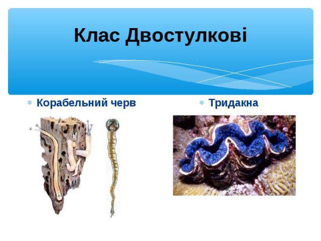Корабельний черв Корабельний черв