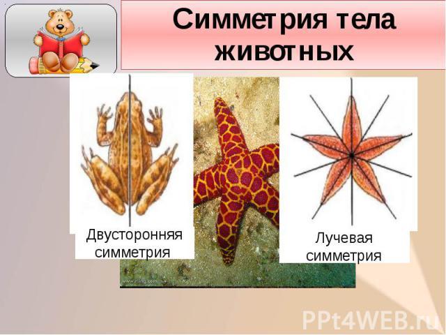Симметрия тела животных
