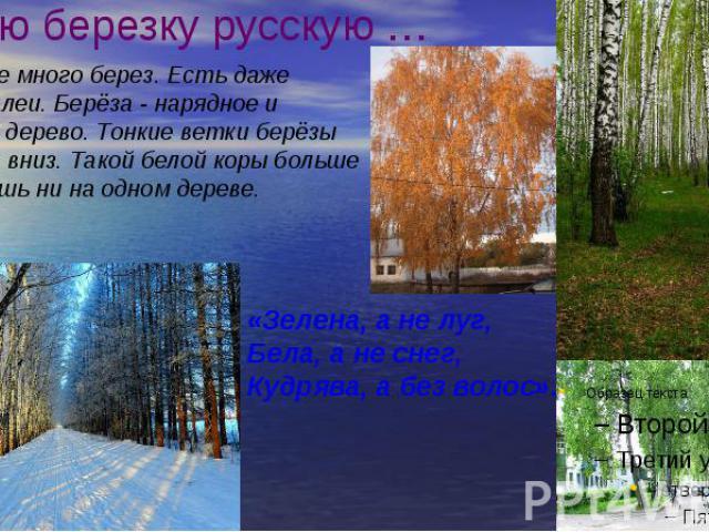 Люблю березку русскую … В посёлке много берез. Есть даже целые аллеи. Берёза - нарядное и красивое дерево. Тонкие ветки берёзы опущены вниз. Такой белой коры больше не найдёшь ни на одном дереве.