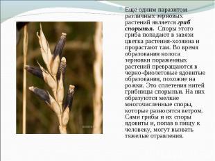 Еще одним паразитом различных зерновых растений является гриб спорынья. Споры эт