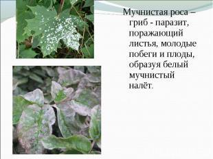 Мучнистая роса – гриб - паразит, поражающий листья, молодые побеги и плоды, обра