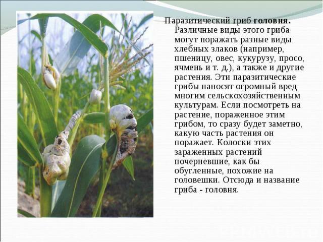 Паразитический гриб головня. Различные виды этого гриба могут поражать разные виды хлебных злаков (например, пшеницу, овес, кукурузу, просо, ячмень и т. д.), а также и другие растения. Эти паразитические грибы наносят огромный вред многим сельскохоз…