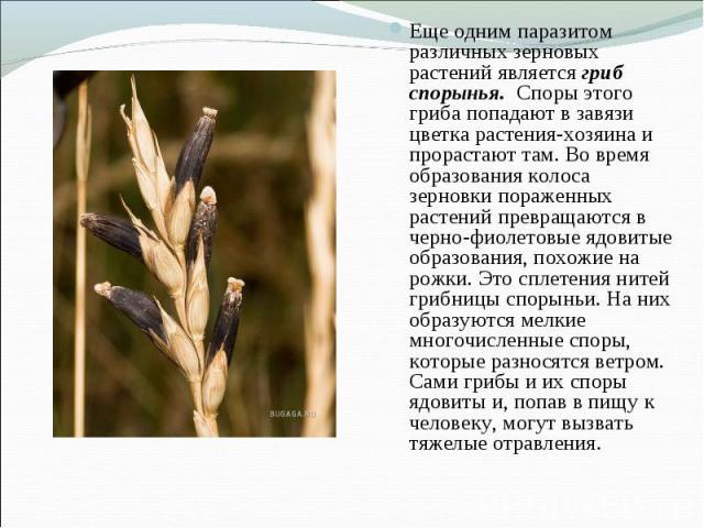 Еще одним паразитом различных зерновых растений является гриб спорынья. Споры этого гриба попадают в завязи цветка растения-хозяина и прорастают там. Во время образования колоса зерновки пораженных растений превращаются в черно-фиолетовые ядовитые о…