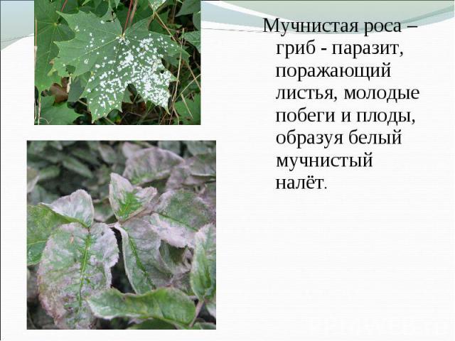Мучнистая роса – гриб - паразит, поражающий листья, молодые побеги и плоды, образуя белый мучнистый налёт. Мучнистая роса – гриб - паразит, поражающий листья, молодые побеги и плоды, образуя белый мучнистый налёт.