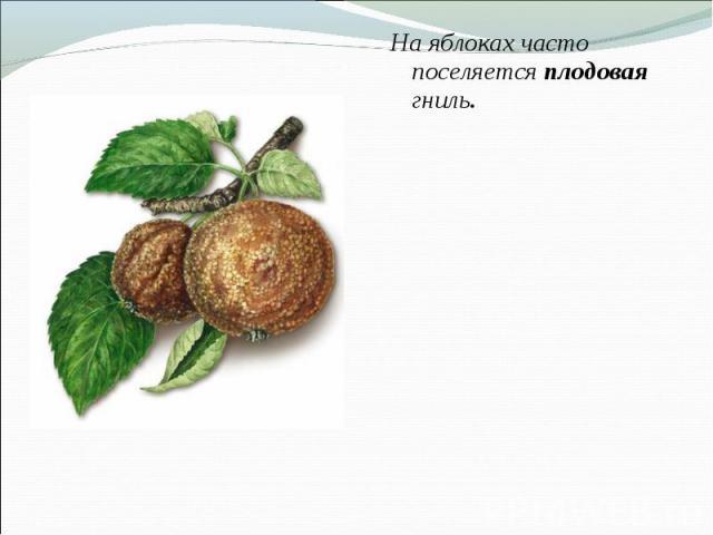 На яблоках часто поселяется плодовая гниль. На яблоках часто поселяется плодовая гниль.