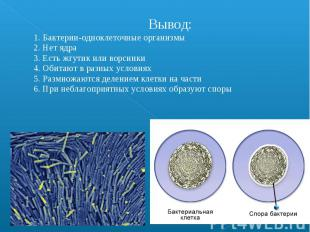 Вывод: 1. Бактерии-одноклеточные организмы 2. Нет ядра 3. Есть жгутик или ворсин