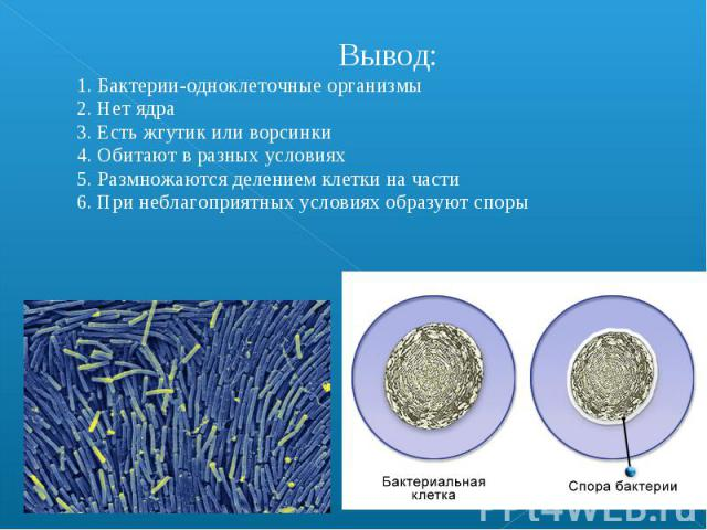 Вывод: 1. Бактерии-одноклеточные организмы 2. Нет ядра 3. Есть жгутик или ворсинки 4. Обитают в разных условиях 5. Размножаются делением клетки на части 6. При неблагоприятных условиях образуют споры