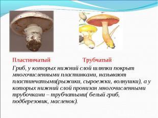 Пластинчатый Трубчатый Пластинчатый Трубчатый Гриб, у которых нижний слой шляпки